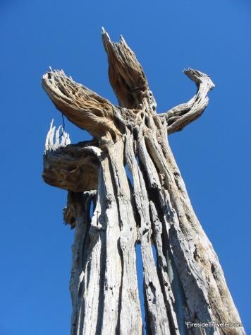 saguaro cactus wood
