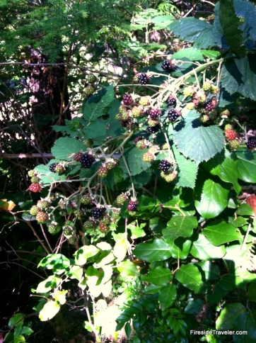 Blackberry bushes at campsite Florence OR