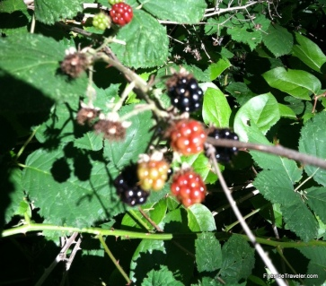 Free blackberries